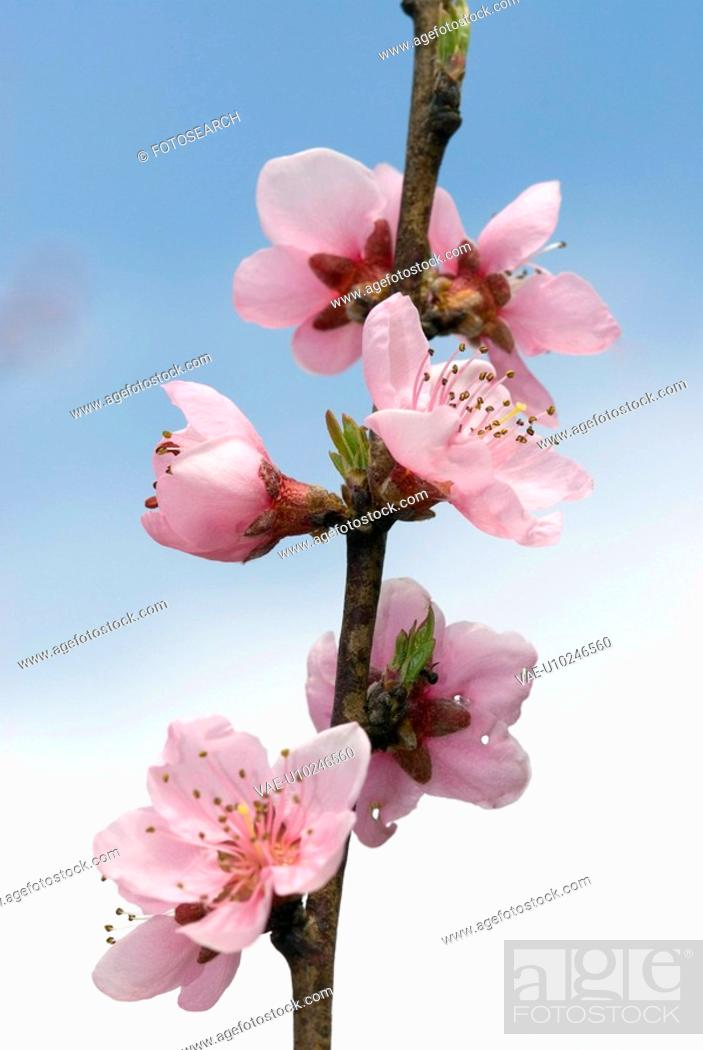 Stock Photo: branch, tree, bloom, freedom, spring, buds, centrical.
