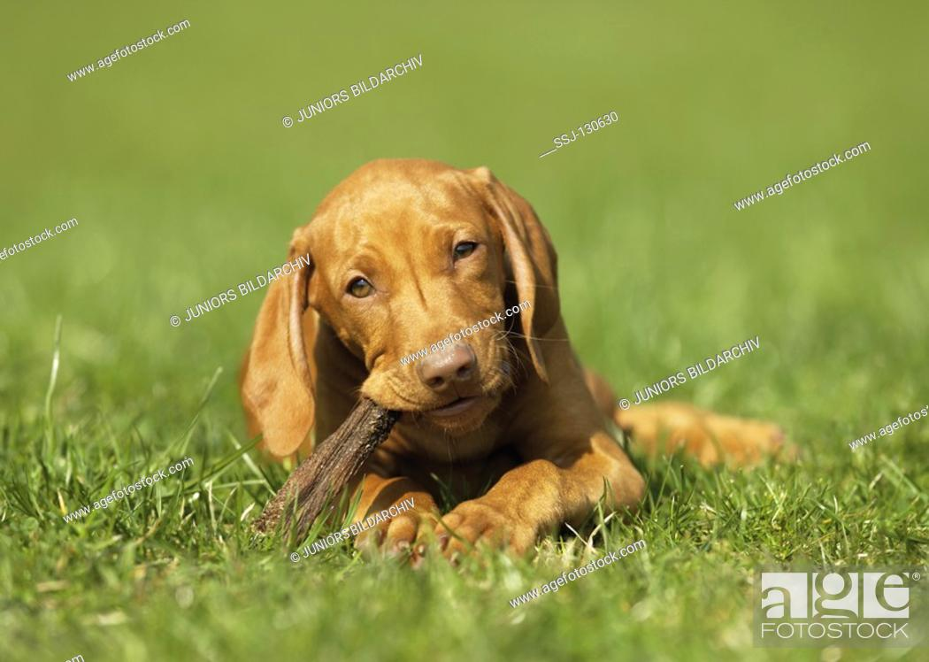 Stock Photo: Magyar Vizsla puppy with stick - lying on meadow.