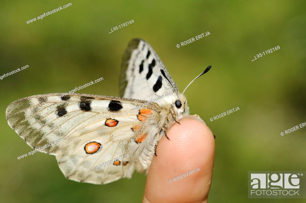 Stock Photo: Parnassius apollo is in Southern Europe confined to high mountain areas mostly in the Pyrenees where it was confined at the end of the glacial era  It is a.