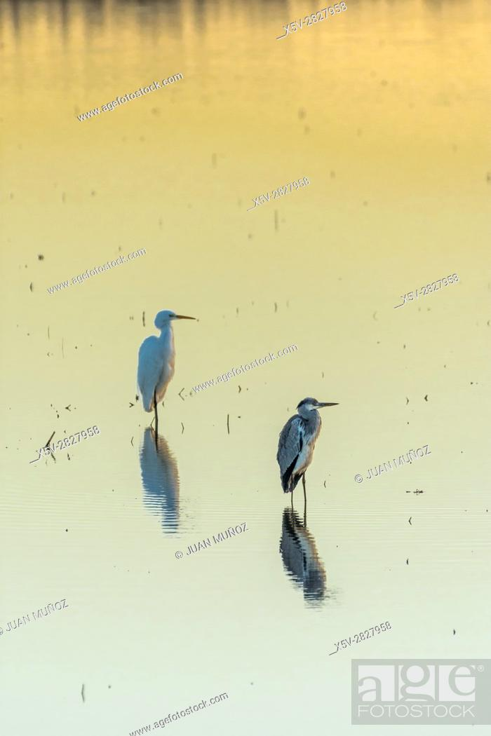 Stock Photo: Egrets in the marsh at dawn. Doñana Natural Park. Seville. Andalusia. Spain.