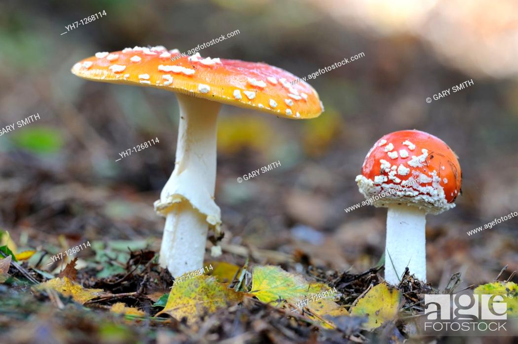 Stock Photo: Fungi, fly agaric, amanita muscaria, two fruiting bodies in birch woodland, Norfolk, UK, September.