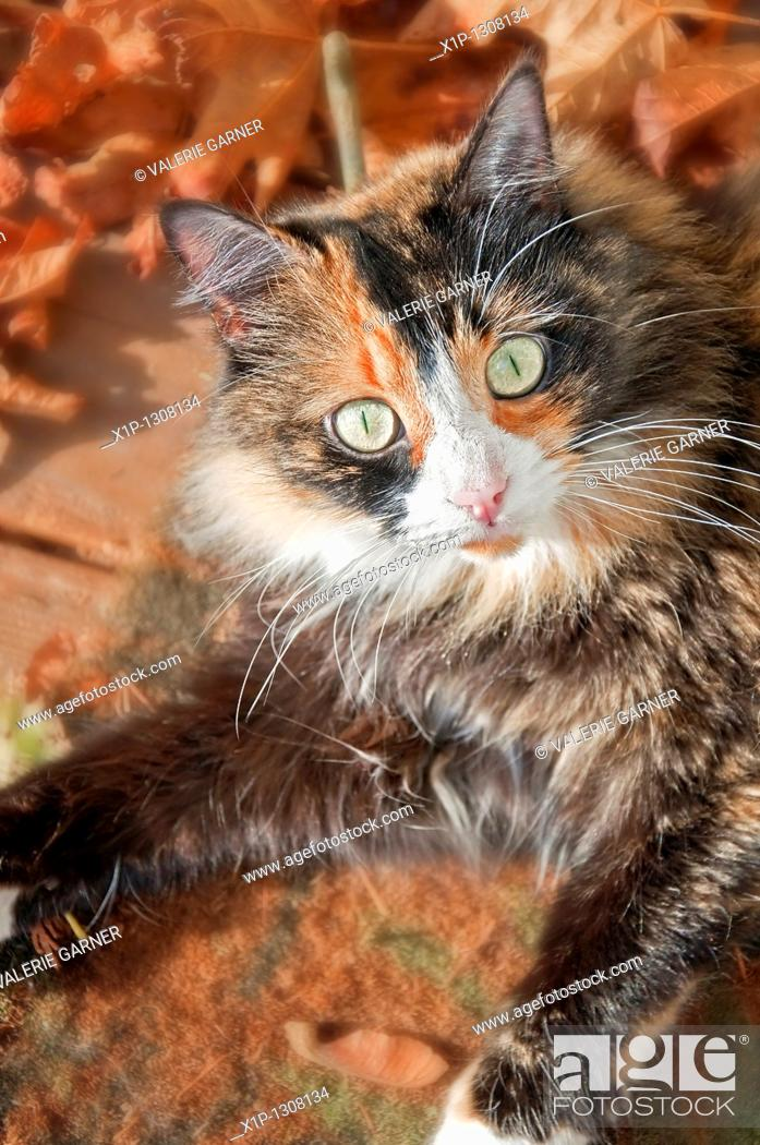 Stock Photo: This vertical stock image shows a closeup of a pretty green eyed calico cat with fall and autumn leaves around the edges.