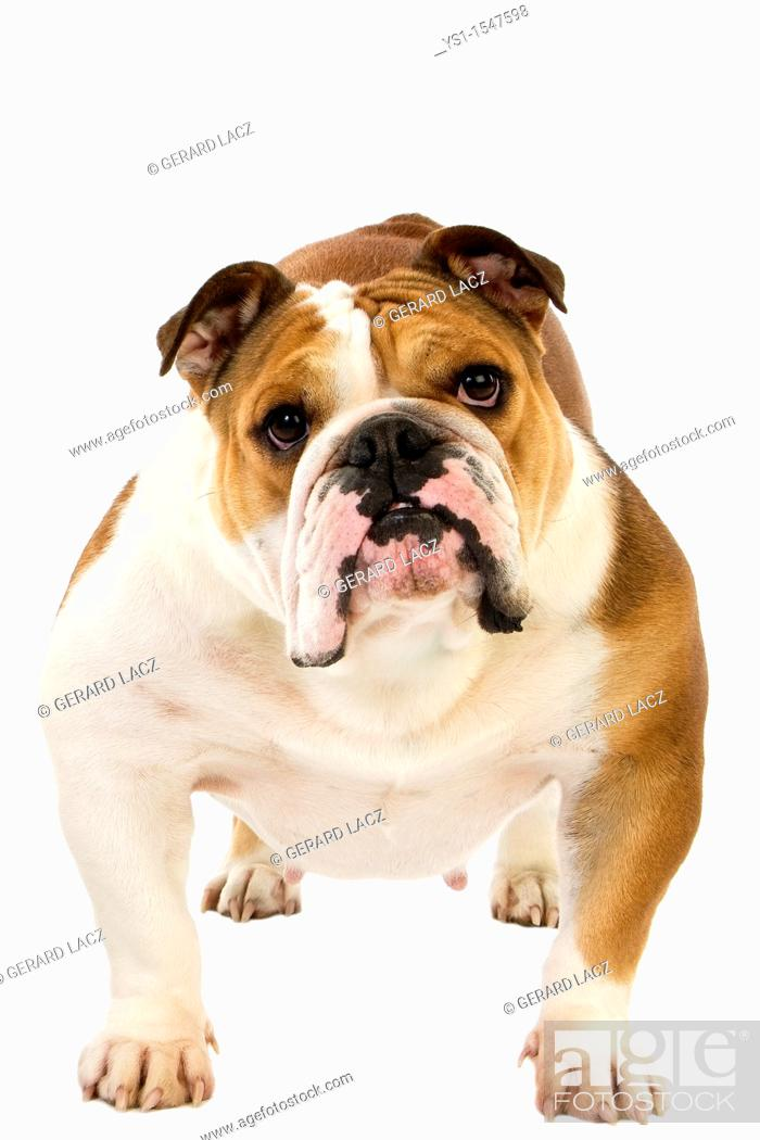 Stock Photo: English Bulldog, Female against White Background.