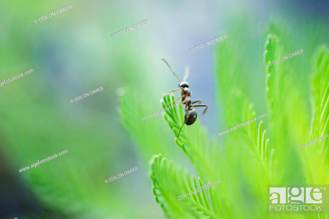 Stock Photo: Argentine ant perched atop conifer branch.