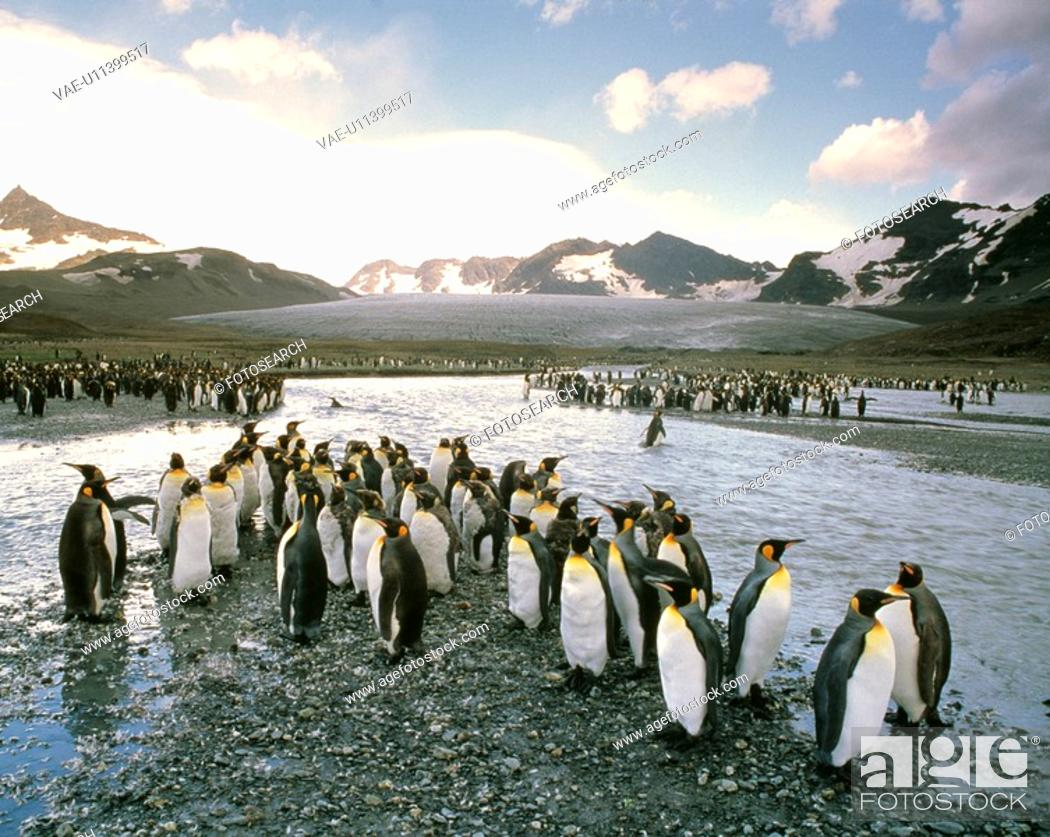 Stock Photo: King penguin.