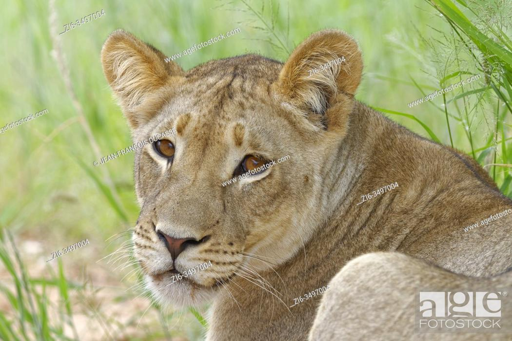Stock Photo: Lioness (Panthera leo), adult female, lying in high grass, alert, Kgalagadi Transfrontier Park, Northern Cape, South Africa, Africa.