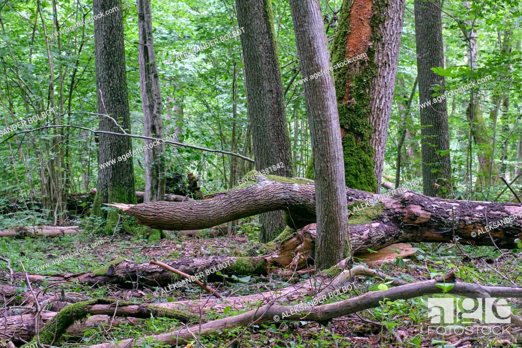 Stock Photo: Alder tree deciduous stand in summer with lots of dead tree lying, Bialowieza Forest, Poland, Europe.