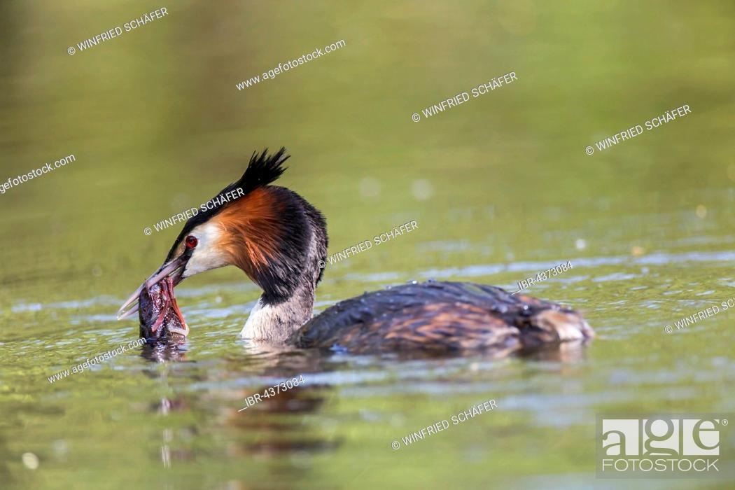 Photo de stock: Great Crested Grebe (Podiceps cristatus) with European Crayfish (Astacus astacus), in water, Nettetal, North Rhine-Westphalia, Germany.