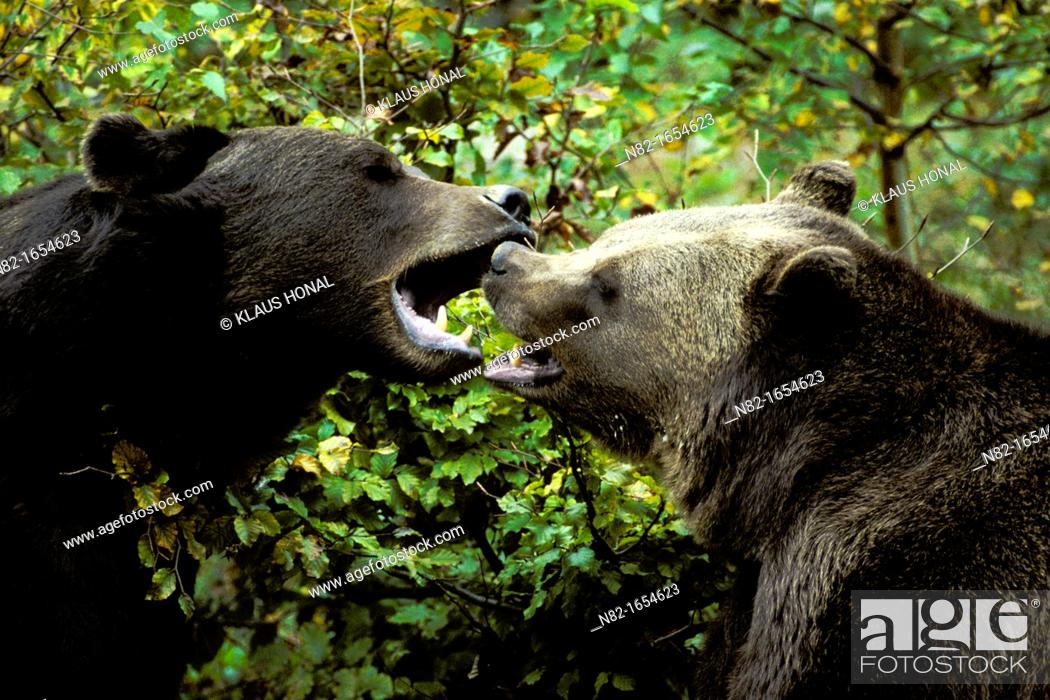 Stock Photo: Fighting Brown Bears Ursus arctos in the Bavarian Forest National Park - Bavaria/Germany.