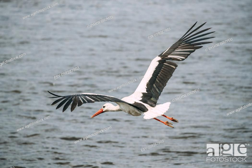 Stock Photo: Adult European White Stork Flies Above Surface Of River With Its Wings Spread Out.