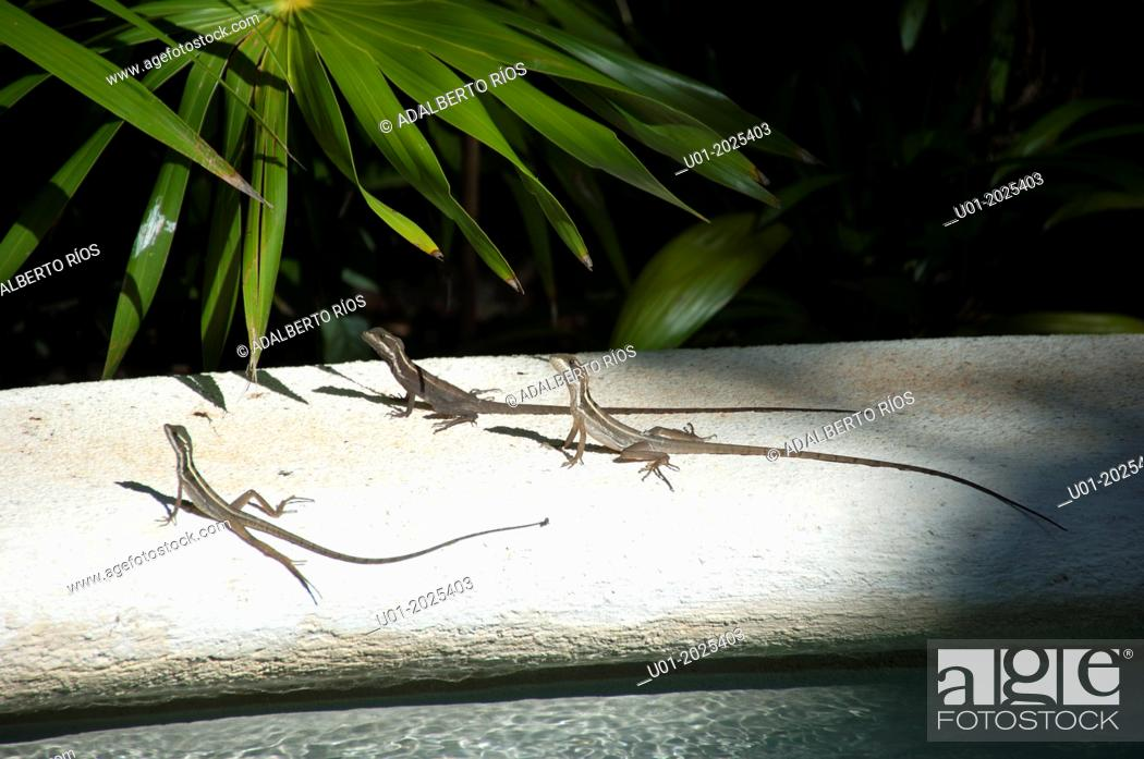 Stock Photo: Lizard Anolis auratus (Poluchrotidae, Sauria) The Anolis are reptiles native to southern Mexico, Central and South America that can change color and have been.