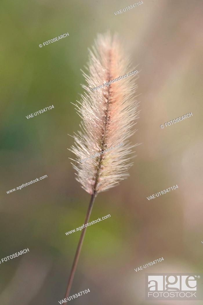 Stock Photo: weed, plant, grasses, grass, plants, foxtile.