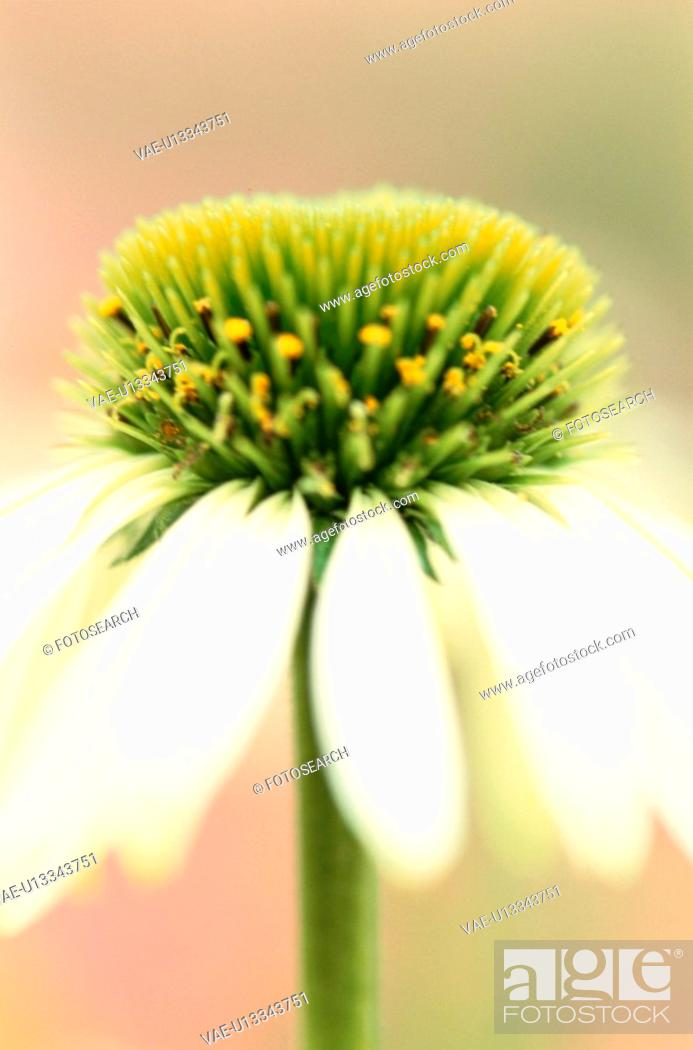 Stock Photo: Stamens Of Daisy.