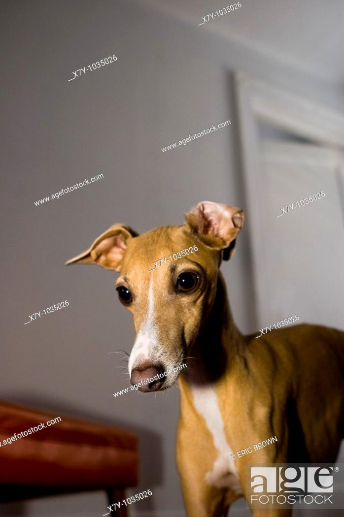 Stock Photo: An Italian Greyhound pays strong attention to something out of frame.