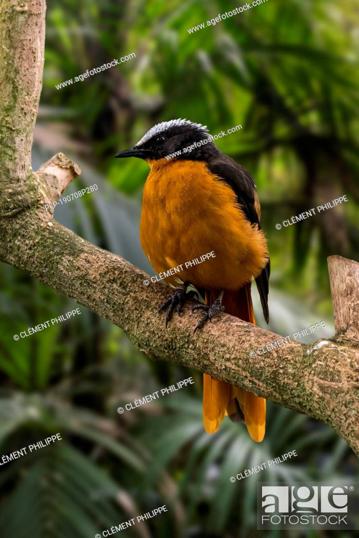 Imagen: Snowy-crowned robin-chat / snowy-headed robin-chat (Cossypha niveicapilla) perched in tree, native to tropical forests in Africa.