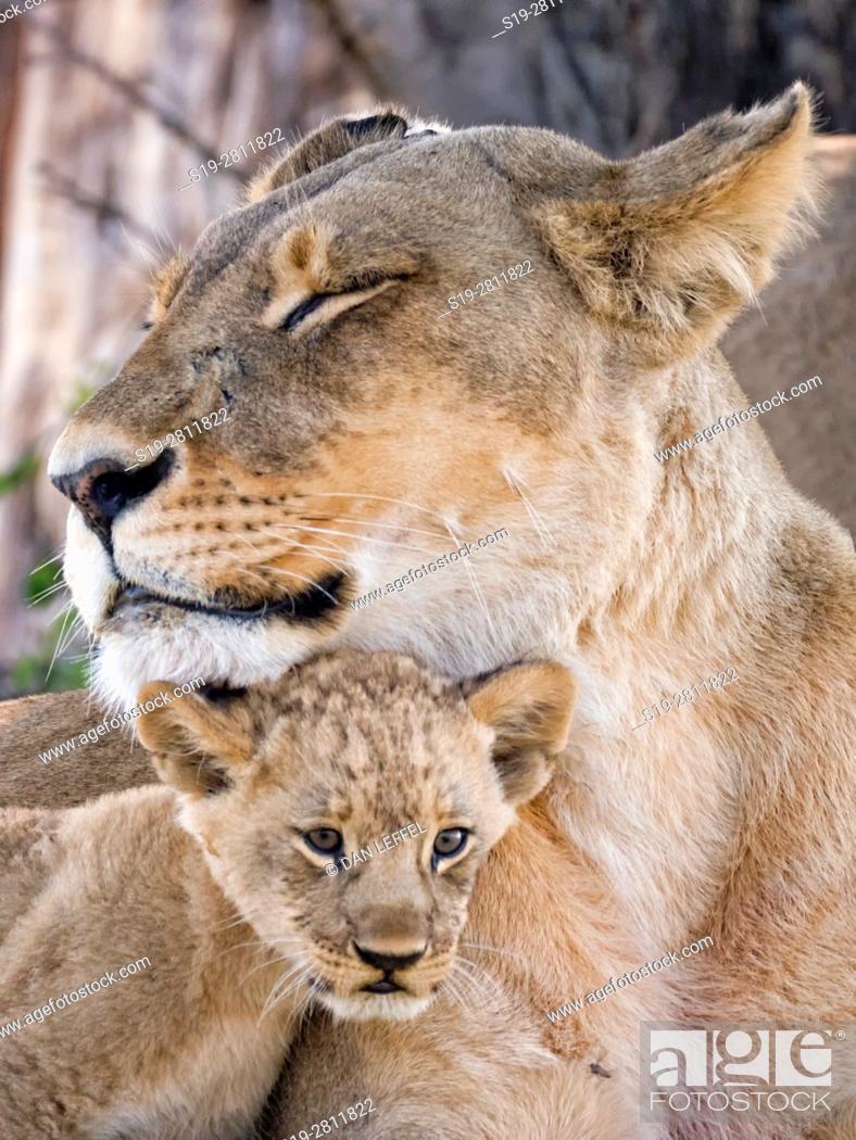 Stock Photo: Botswana. Lioness and Baby.