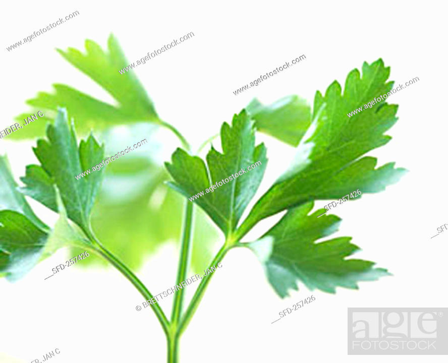 Stock Photo: Fresh parsley (Petroselinum crispum).