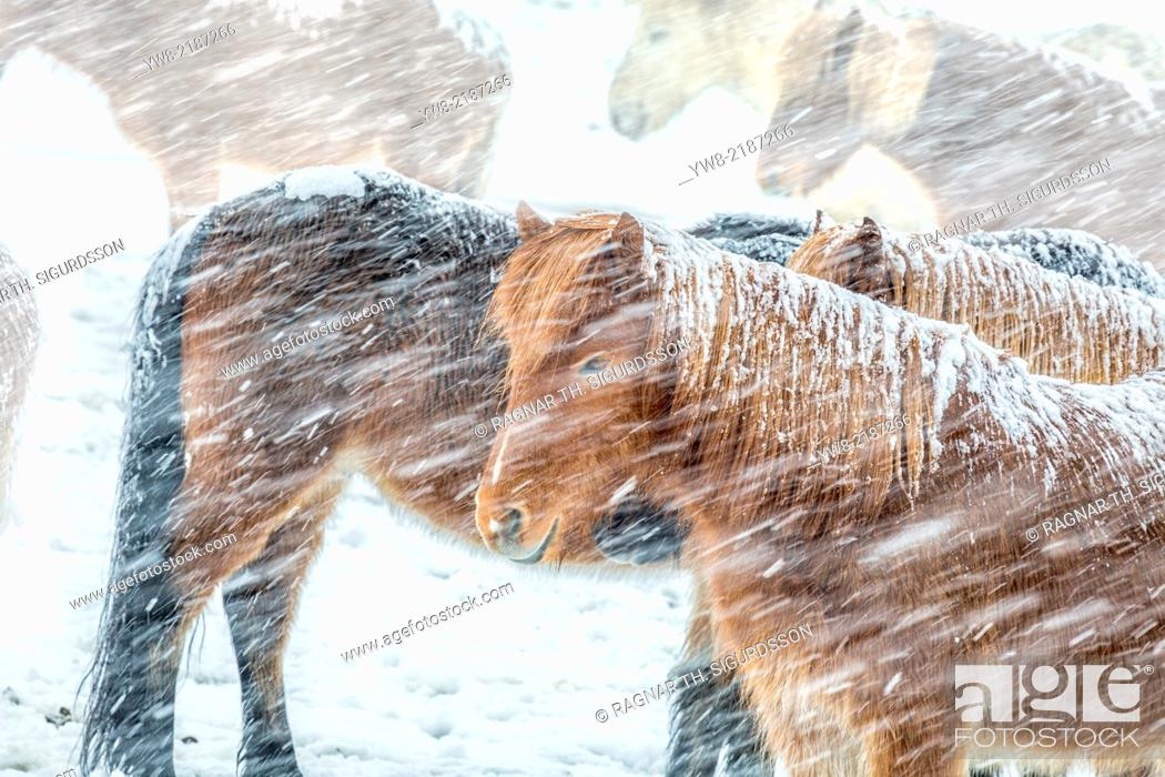 Stock Photo: Icelandic Horses outside during a winter snow storm, Iceland.