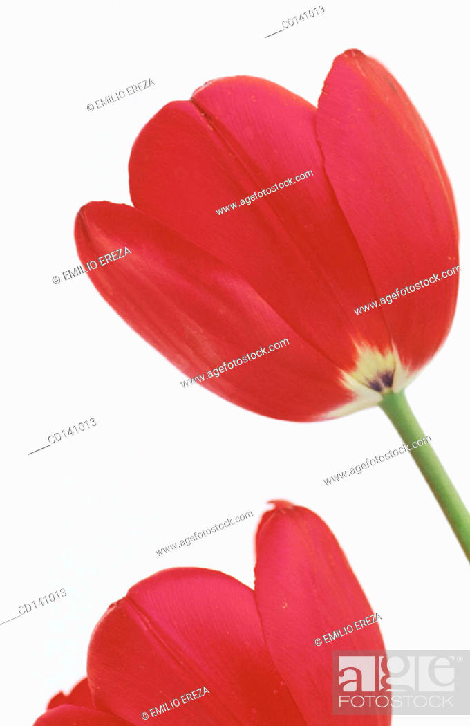Stock Photo: Tulips (Tulipa sp.).