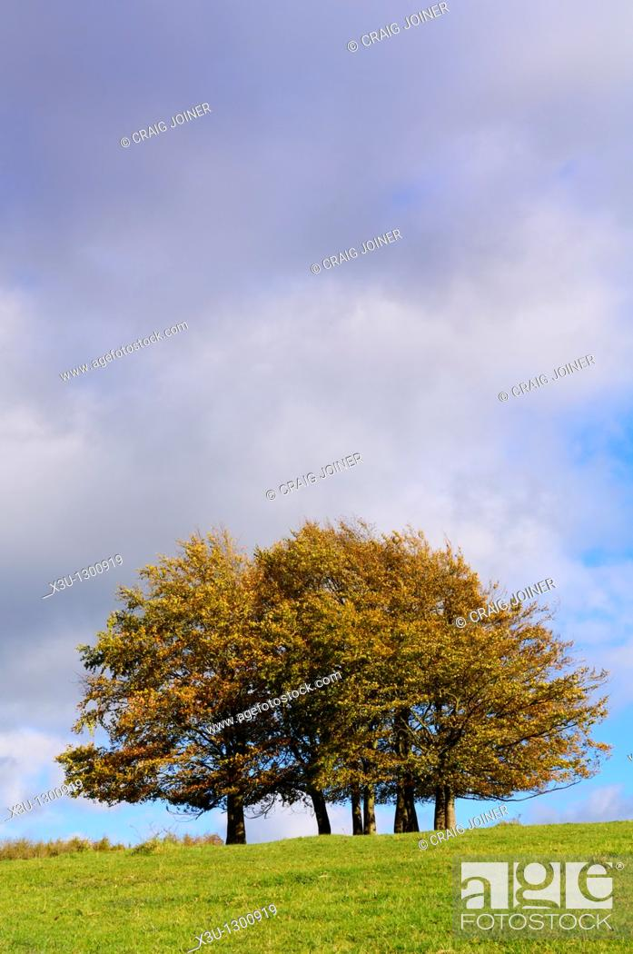 Stock Photo: Autumn beech trees at Haresfield Beacon in the Cotswold Hills, Haresfield, Gloucestershire, England, United Kingdom.