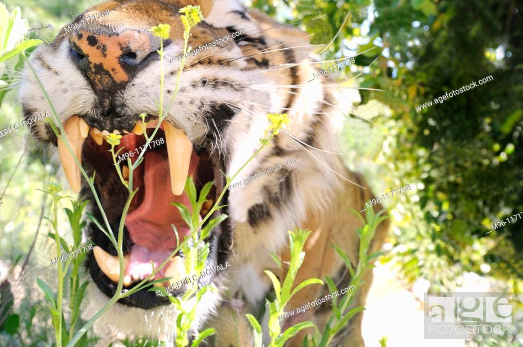 Stock Photo: Tiger roar in enclosure, Wildlife Waystation, Angeles National Forest, California, USA.
