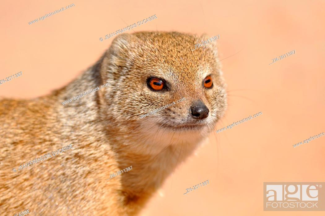 Stock Photo: Yellow mongoose, Cynictis penicillata, Kgalagadi Transfrontier Park, Northern Cape, South Africa.