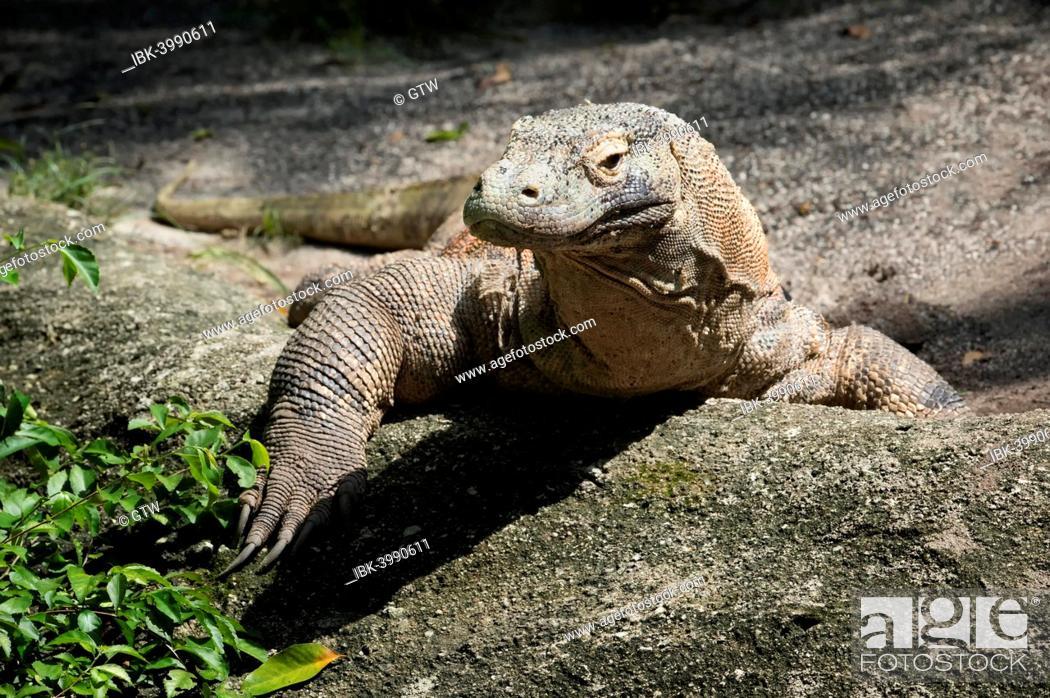 Stock Photo: Komodo Dragon (Varanus komodoensis), captive.