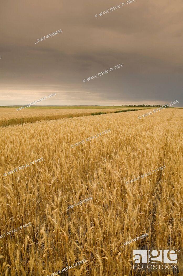 Stock Photo: Wheat ready for swathing, Regina, Saskatchewan, Canada.
