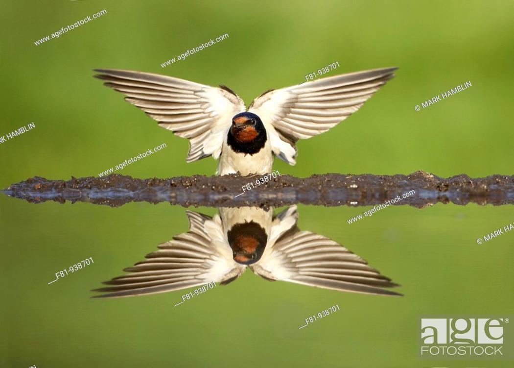 Stock Photo: Swallow Hirundo rustica adult alighting on edge of pond  UK  May 2008.