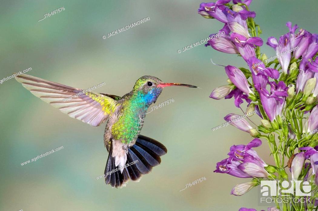 Stock Photo: Broad-billed Hummingbird (Cynanthus latirostris), male with Penstemon (Penstemon barbatus x strictus).