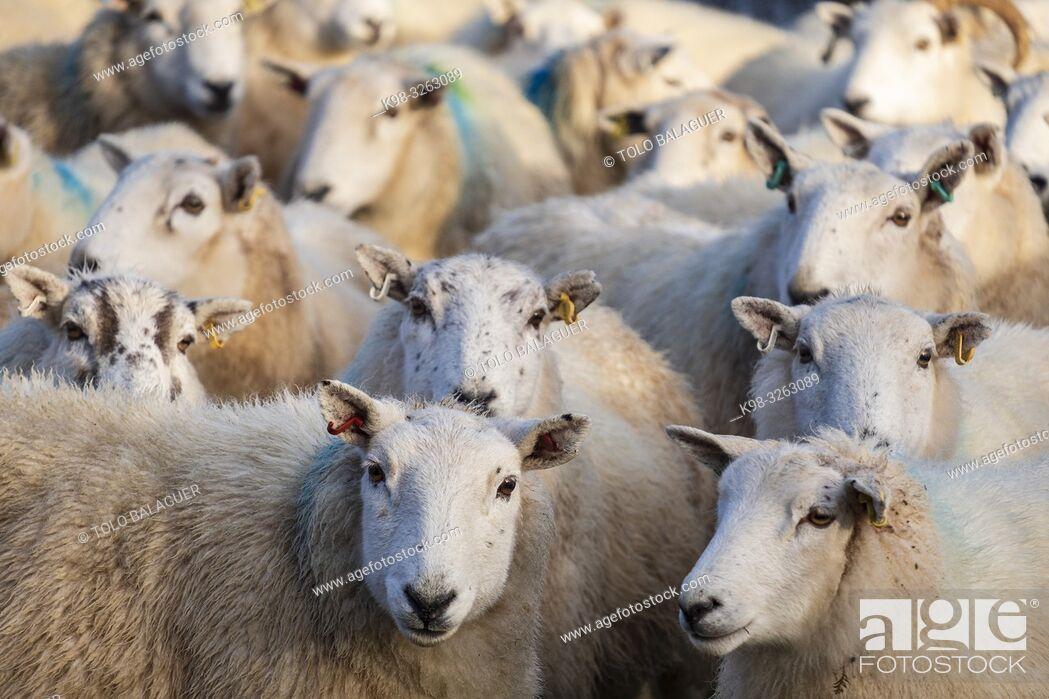 Stock Photo: flock of sheep, Skinidin, Loch Erghallan, Isle of Skye, Highlands, Scotland, United Kingdom.