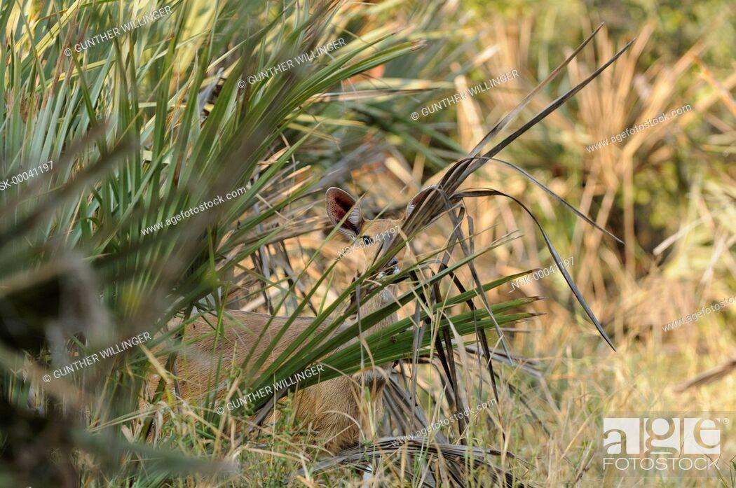 Imagen: Bushbuck (Tragelaphus scriptus) female hiding behind palm tree, South Africa, Limpopo, Kruger National Park.