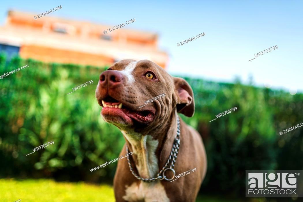 Stock Photo: Closeup of young Amstaff dog head against green background in summer garden. Pitbull theme. Selective focus.