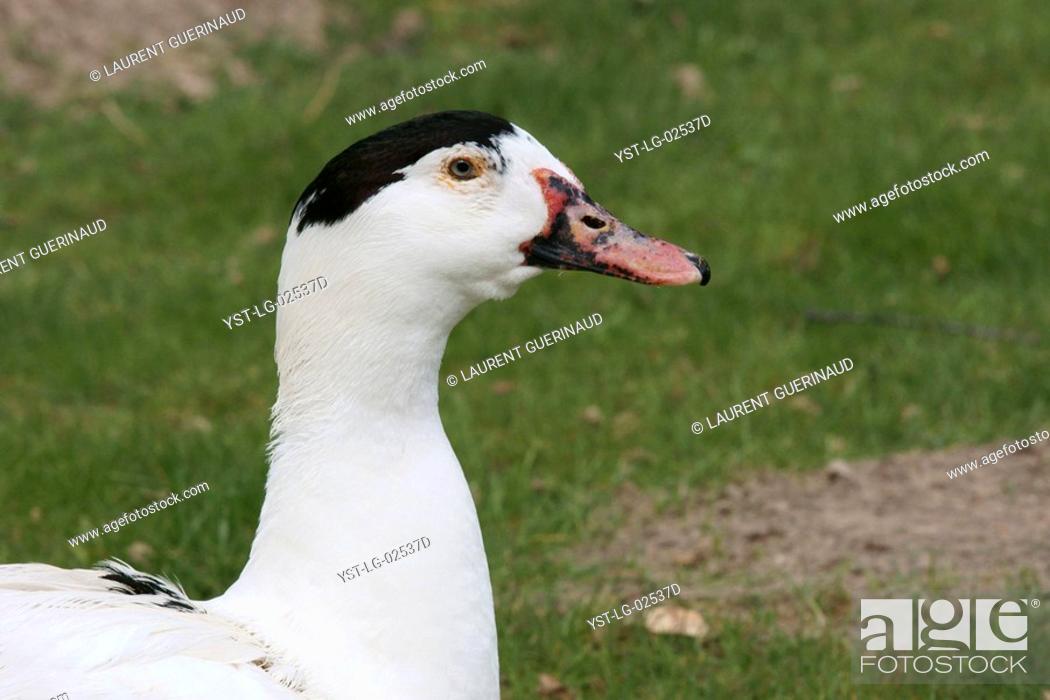 Stock Photo: Canard mulârd, Pato hibridio, Boissy sous Saint Yon, Essonne, Ile de France, France.