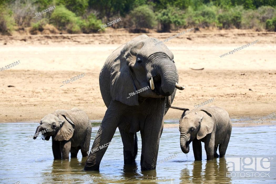 Stock Photo: African elephant mother and two calfs drinking from Luangwa river (Loxodonta africana). South Luangwa National Park, Zambia.