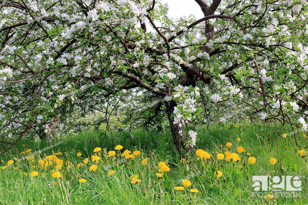 Imagen: apple blossoms.