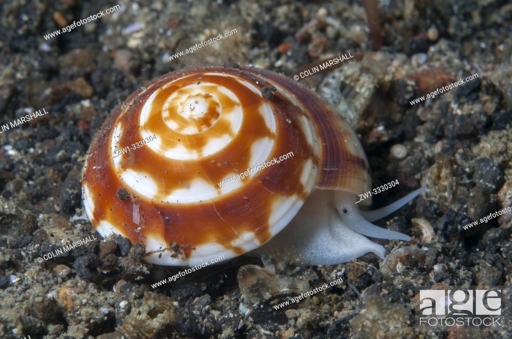 Stock Photo: Sundial Shell (Architectonica sp, Architectonicidae family), Night dive, Retak Larry dive site, Lembeh Straits, Sulawesi, Indonesia.
