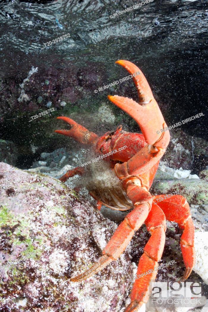 Stock Photo: Christmas Island Red Crab release eggs into ocean, Gecarcoidea natalis, Christmas Island, Australia.