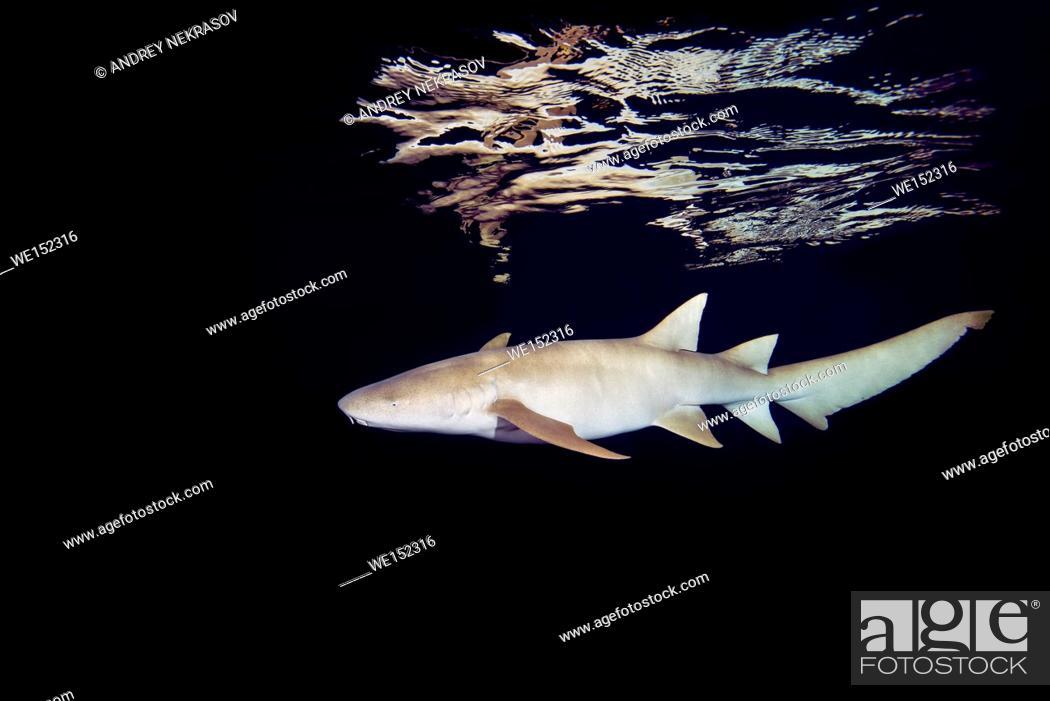 Stock Photo: Tawny nurse sharks (Nebrius ferrugineus) swims in the night, Indian Ocean, Maldives.