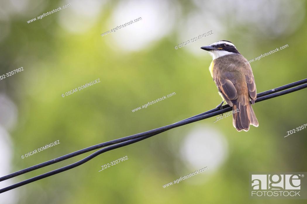 Imagen: Great Kiskadee (Pitangus sulphuratus) perched on wire. Caño Negro Wildlife Refuge. Alajuela province. Costa Rica.