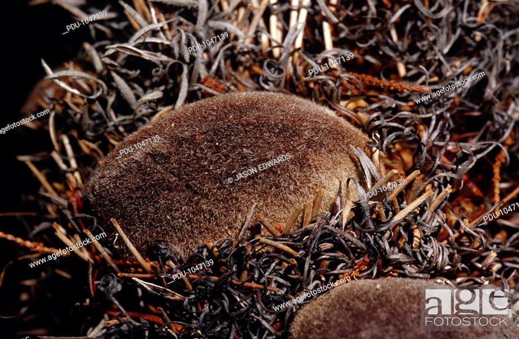 Stock Photo: Closeup of an intricate Banksia seed pod following a bush fire.