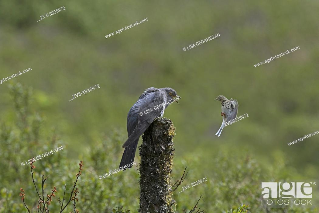 Stock Photo: Meadow pipit-Anthus pratensis defends it's nesting site from male Cuckoo-Cuculus canorus.