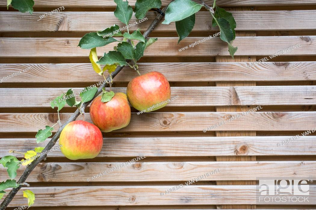 Stock Photo: Close up apple tree branch with red tasty apples on a fence background texture . healthy fruit.