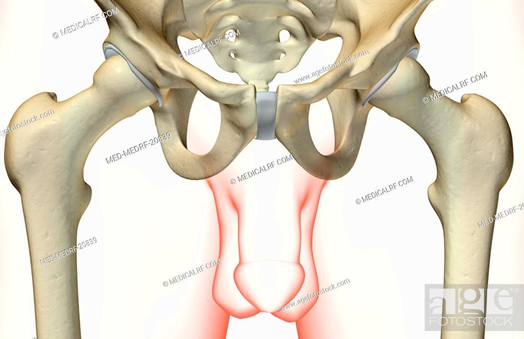 Stock Photo: The bones of the pelvis.