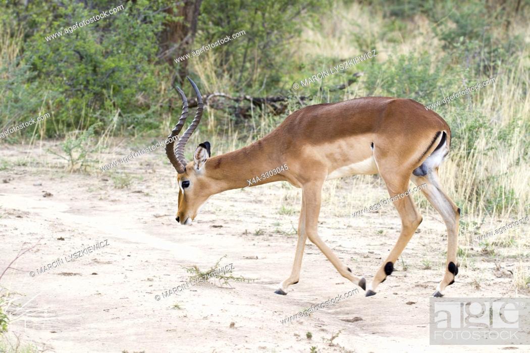 Stock Photo: Male of impala antelope (Aepyceros melampus), Okonjima Nature Reserve, Namibia.
