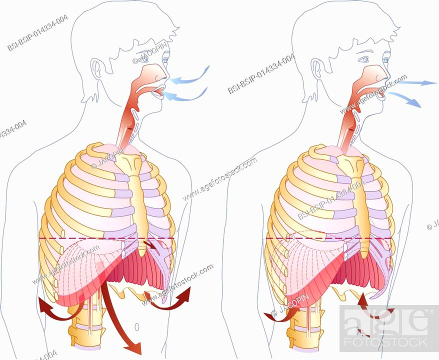 stock photo - illustration of the principle of inhalation (left) and  exhalation (right)       the diaphragm and intercostal muscles bring about  inhalation