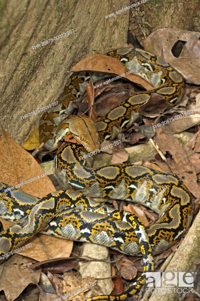 Stock Photo   Reticulated Python Python Reticulatus Adult, Coiled On  Rainforest Floor, Sukau River, Sabah, Borneo, Malaysia