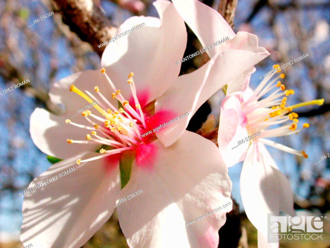 Stock Photo: Almond tree flowers.