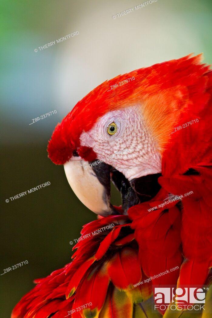 Stock Photo: Ara macao. Red macaw. Portrait. French Guiana.