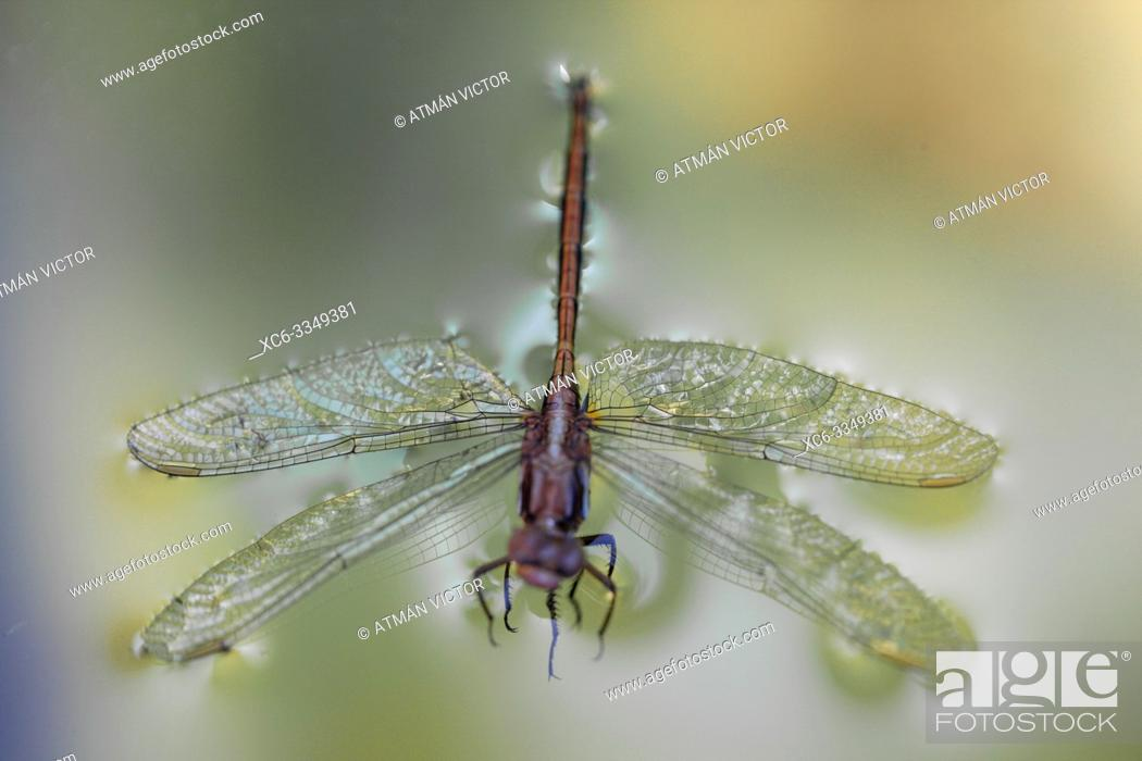 Stock Photo: Dragonfly floating on the water.